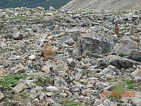 Marmots on Mosquito Pass above Leadville - 13185 feet above sea level